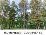 large green tall pine trees in... | Shutterstock . vector #1039546468