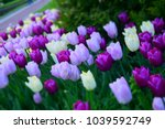 purple tilips flowers.... | Shutterstock . vector #1039592749