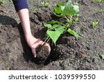 planting  and grow  sweet... | Shutterstock . vector #1039599550