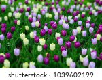 multicolor tulips field flowers.... | Shutterstock . vector #1039602199