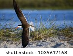 Small photo of Kasane, Botswana, Africa. July 2014. An African Skimmer flying near the Chobe River.