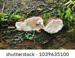 heterobasidion parviporum   the ... | Shutterstock . vector #1039635100