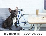 french bulldog sitting on chair ... | Shutterstock . vector #1039647916