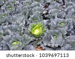cabbage farm with a large... | Shutterstock . vector #1039697113