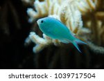 Small photo of Pomacentridae (Amblyglyphidodon indicus) , coral fish