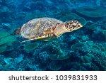 hawksbill sea turtle dive swim... | Shutterstock . vector #1039831933