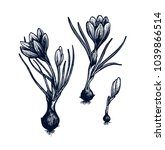 crocus hand drawn isolated... | Shutterstock .eps vector #1039866514