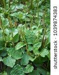 plantago major plants   Shutterstock . vector #1039874383