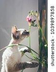 devon rex cat is smelling... | Shutterstock . vector #1039897858