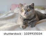 gray british sweet cat | Shutterstock . vector #1039935034