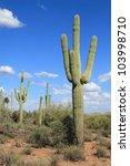 Постер, плакат: saguaro cacti dominate the