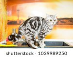british shorthair cat  color... | Shutterstock . vector #1039989250