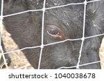 Black Cow Eye Looking Through...