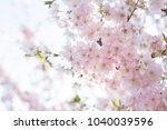 close up of sakura tree flowers.... | Shutterstock . vector #1040039596
