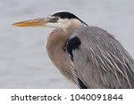 closeup of a great blue heron ...   Shutterstock . vector #1040091844
