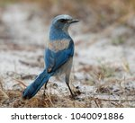 florida scrub jay  aphelocoma... | Shutterstock . vector #1040091886