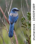 florida scrub jay  aphelocoma... | Shutterstock . vector #1040091889