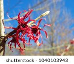 red vernal flowers  witch hazel ... | Shutterstock . vector #1040103943