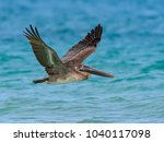brown pelican juvenile in flight | Shutterstock . vector #1040117098