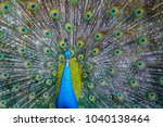 indian giant peacock spreads... | Shutterstock . vector #1040138464