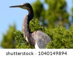 a great blue heron in the... | Shutterstock . vector #1040149894
