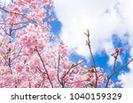 Beautiful Cherry Blossoms In...