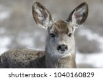 Curious Young Female Mule Deer...