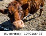 Cute Cow Looking Up At Camera...