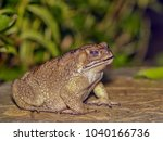 Close up common toad amphibians ...