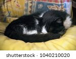 Black And White Cat Sleeping O...