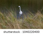 great white heron or great... | Shutterstock . vector #1040220400