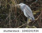 a beautiful grey heron  ardea...   Shutterstock . vector #1040241934