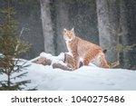Lynx   National Park Sumava