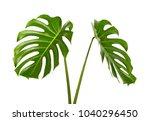 Monstera Deliciosa Leaf Or...