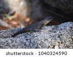 australian lizard  skink ... | Shutterstock . vector #1040324590