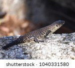 skink   australian lizard... | Shutterstock . vector #1040331580