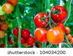 The Tomatoes Are Ripe And Read...