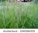 Small photo of Close up of flowering alopecurus myosuroides with purple spikelets, also know as slender meadow foxtail, black-grass, twitch grass, black twitch. Poland, Europe