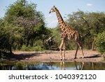 giraffe at khama rhino... | Shutterstock . vector #1040392120