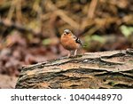 A chaffinch on a log at Leighton moss nature reserve