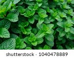 green mint plant in growth at... | Shutterstock . vector #1040478889