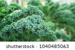 Close Up Of Green Curly Kale...