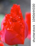 tulip of the original form and... | Shutterstock . vector #1040644330