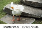 Small photo of a white goose step on the stone