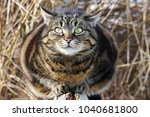 a curious look from big cat's...   Shutterstock . vector #1040681800