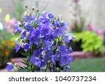 platycodon grandiflorus flowers ... | Shutterstock . vector #1040737234