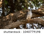 Small photo of African Cuckoo in tree