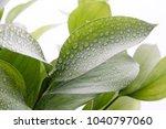 ruscus hypophyllum  spineless... | Shutterstock . vector #1040797060
