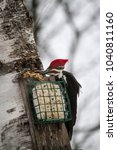 Small photo of Pileated Wood Pecker at a Suet Feeder