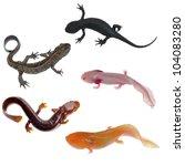 amphibian animal newt salamander collection isolated on white - stock photo